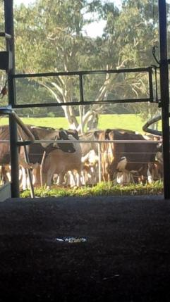 Cows in the yard